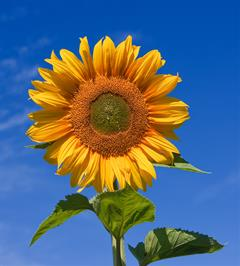 Sunflower Update from Phil
