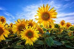 Sunflower Update